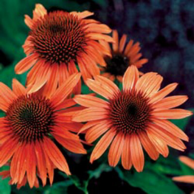 what flower are you? EchinaceaSunset
